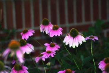 purple cone flowers198