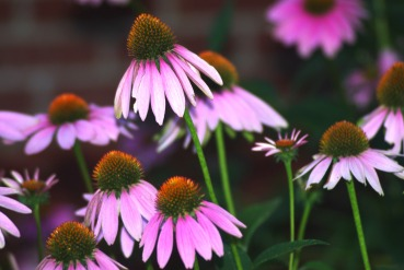 purple cone flowers199