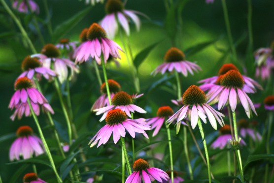 purple cone flowers203