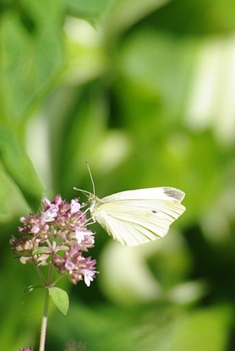 whitebutterfly1