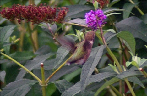 hummingbird6 enhanced