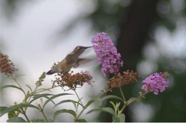 hummingbirdbflyshrub1