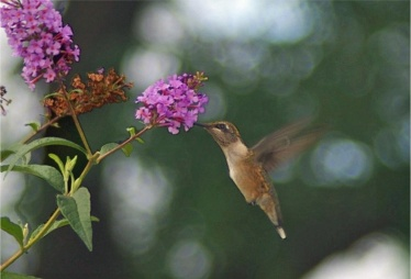 hummingbirdwbutflyshrub2L enhanced