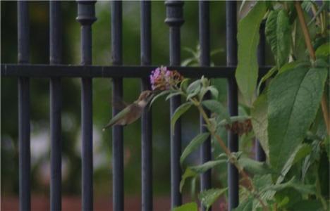 hummingnbird2