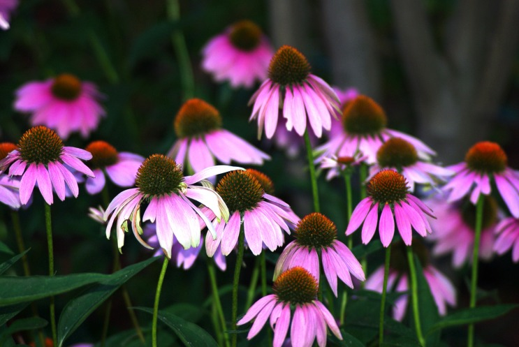 purple cone flowers195