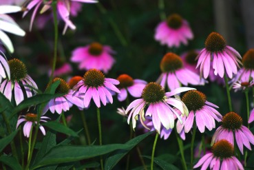 purple cone flowers197