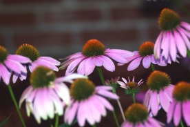 purple cone flowers200