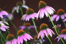 purple cone flowers201