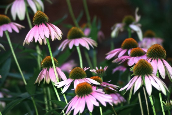 purple coneflower less saturationpurple cone flowers202